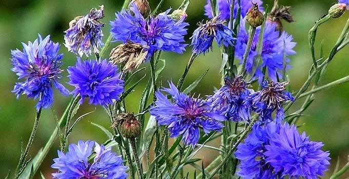 Mavi Kantaron (Peygamber Çiçeği)